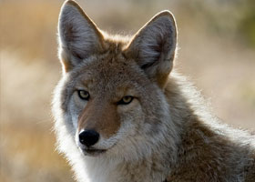 Ban on Coyote Killing Contests
