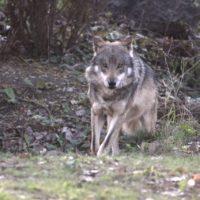 wolf-2792300_1280